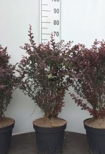 Struik Berberis rood (Zuurbes) 60-80 cm(C7,5)