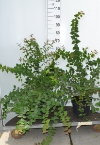 Sierheester Kolkwitzia hoogte 50-60cm(C7,5)
