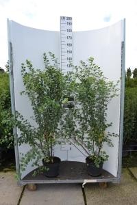 Sierheester Spirea hoogte 80-100 cm (C7,5)