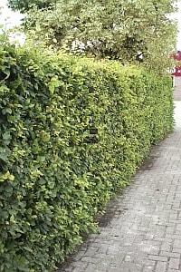 Groene Beuk , bladhoudend, haaghoogte 60 cm (wortelgoed)