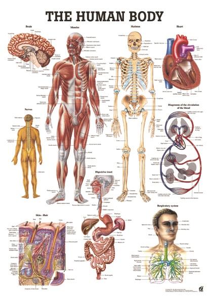 organen menselijk lichaam vrouw