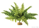 Boston Fern, Medium