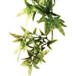 Shrub Plant Croton
