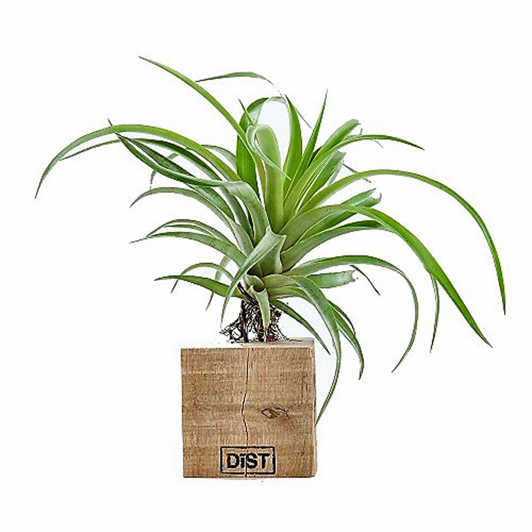 Airplant Tillandsia op blok M