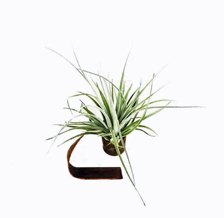 Airplant krul