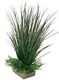 Plant Acorus