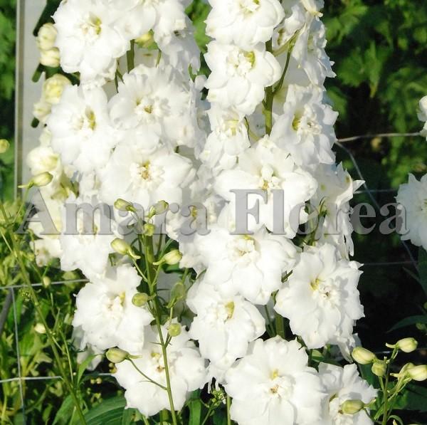 http://myshop-s3.r.worldssl.net/shop4870700.pictures.Delphinium_Centurion_White.jpg