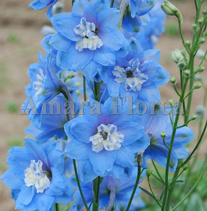 http://myshop-s3.r.worldssl.net/shop4870700.pictures.Delphinium_Sky_Blue.jpg
