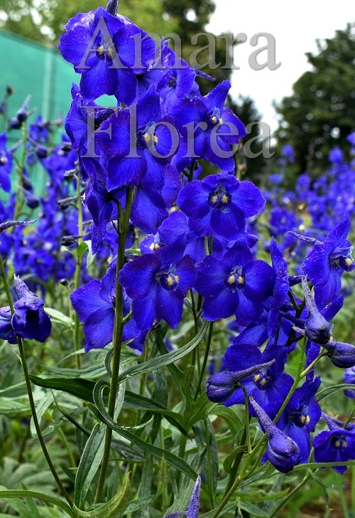 http://myshop-s3.r.worldssl.net/shop4870700.pictures.Delphinium_belladonna_Atlantis.jpg