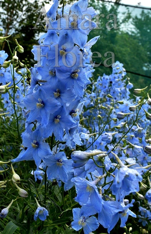 http://myshop-s3.r.worldssl.net/shop4870700.pictures.Delphinium_belladonna_Ballkleid.jpg