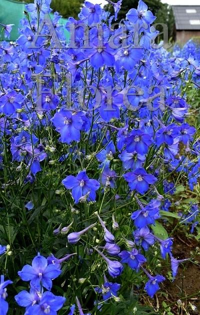 http://myshop-s3.r.worldssl.net/shop4870700.pictures.Delphinium_belladonna_Piccolo.jpg