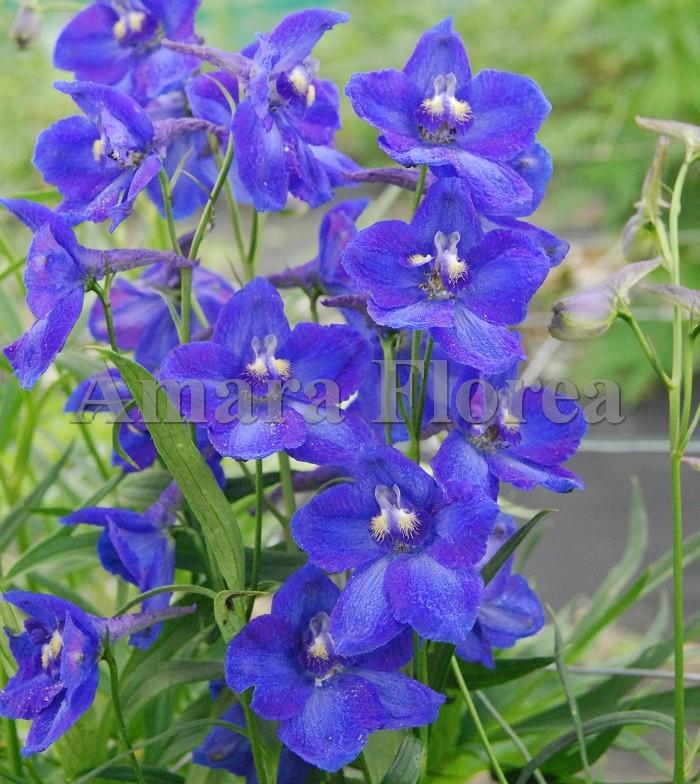 http://myshop-s3.r.worldssl.net/shop4870700.pictures.Delphinium_belladonna_Sternenhimmel.jpg