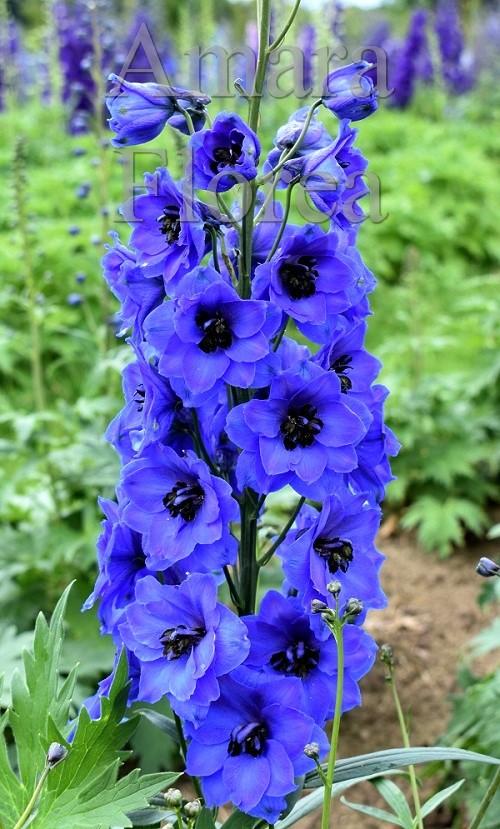 http://myshop-s3.r.worldssl.net/shop4870700.pictures.Delphinium_centurion_Gentian_Blue.jpg