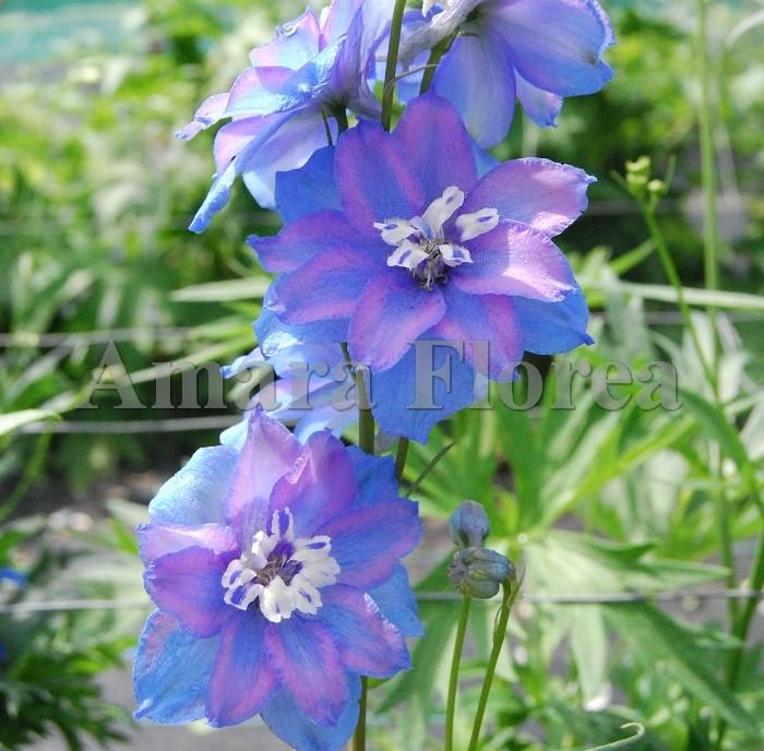 http://myshop-s3.r.worldssl.net/shop4870700.pictures.Delphinium_elatum_Abgesang.jpg