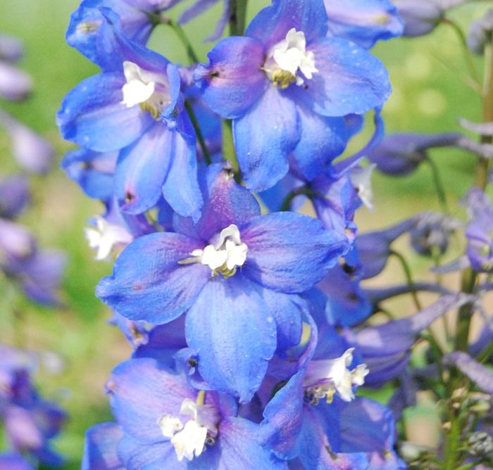 http://myshop-s3.r.worldssl.net/shop4870700.pictures.Delphinium_elatum_Adria.JPG