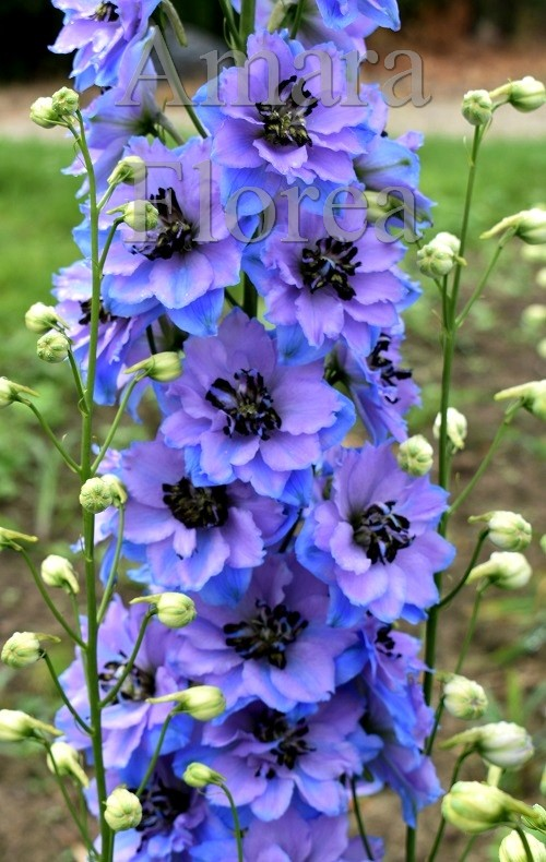 http://myshop-s3.r.worldssl.net/shop4870700.pictures.Delphinium_elatum_Blue_Dawn.jpg