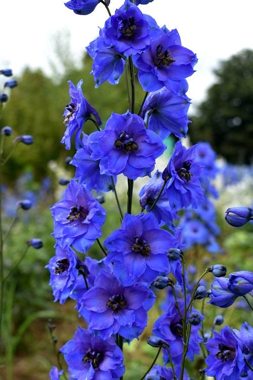 http://myshop-s3.r.worldssl.net/shop4870700.pictures.Delphinium_elatum_Blue_Tit.JPG