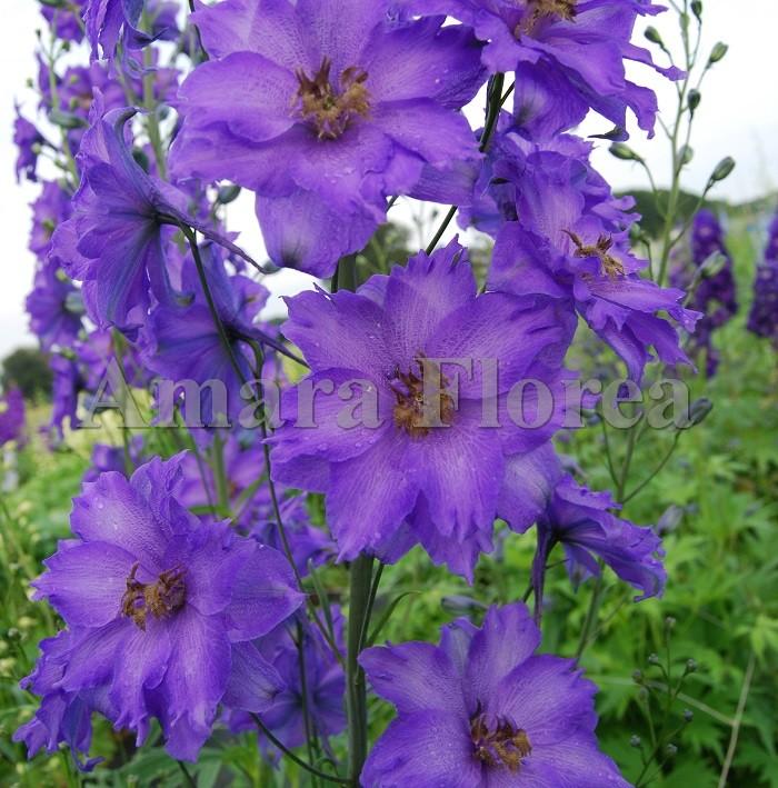 http://myshop-s3.r.worldssl.net/shop4870700.pictures.Delphinium_elatum_Bruce_.jpg