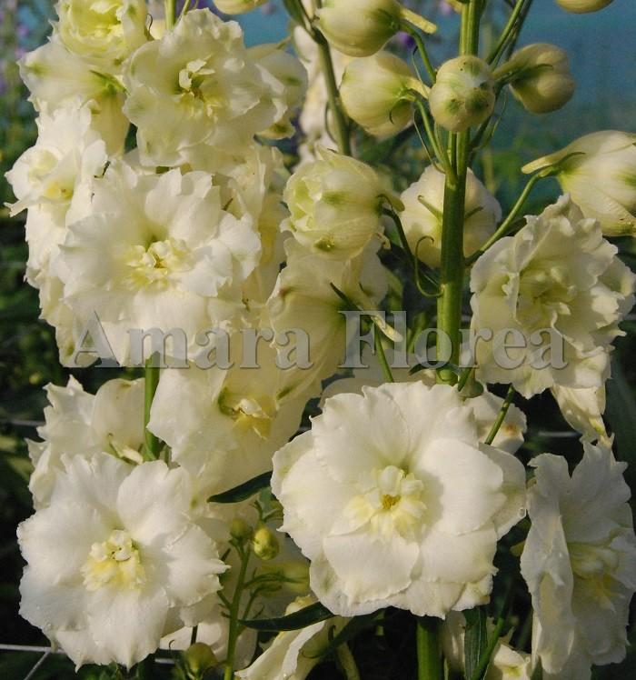 http://myshop-s3.r.worldssl.net/shop4870700.pictures.Delphinium_elatum_Butter_Ball_.jpg