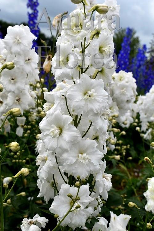 http://myshop-s3.r.worldssl.net/shop4870700.pictures.Delphinium_elatum_Christine_Harbutt.jpg