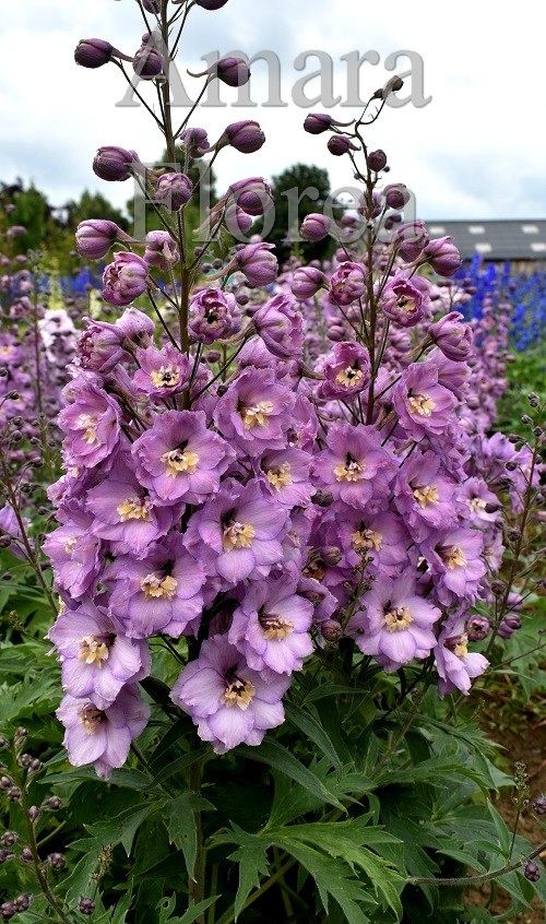 http://myshop-s3.r.worldssl.net/shop4870700.pictures.Delphinium_elatum_Clair.jpg
