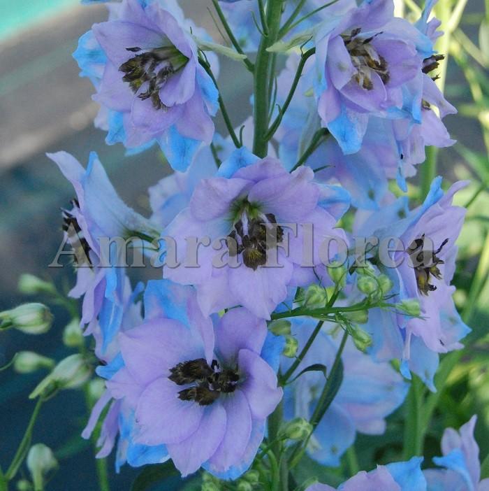 http://myshop-s3.r.worldssl.net/shop4870700.pictures.Delphinium_elatum_Conspicous.jpg