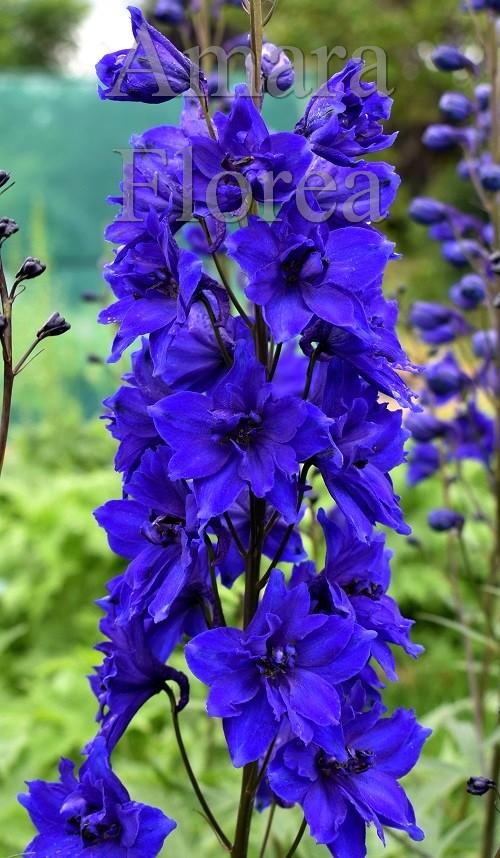 http://myshop-s3.r.worldssl.net/shop4870700.pictures.Delphinium_elatum_Faust.jpg