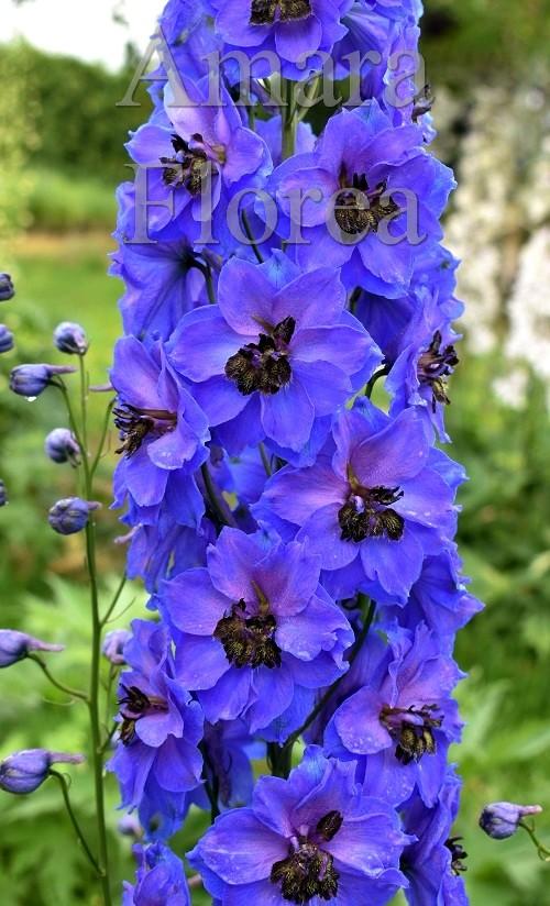 http://myshop-s3.r.worldssl.net/shop4870700.pictures.Delphinium_elatum_Galileo.jpg