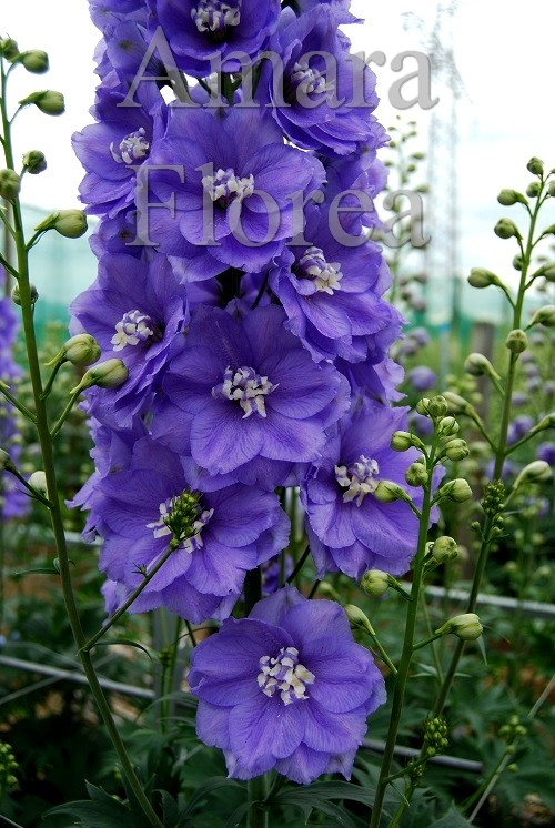 http://myshop-s3.r.worldssl.net/shop4870700.pictures.Delphinium_elatum_Gillian_Dallas.jpg