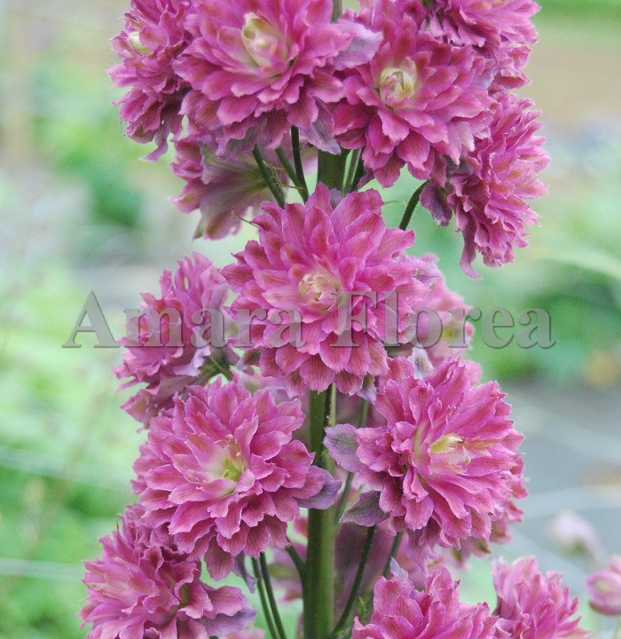 http://myshop-s3.r.worldssl.net/shop4870700.pictures.Delphinium_elatum_Highlander_Flamenco.jpg