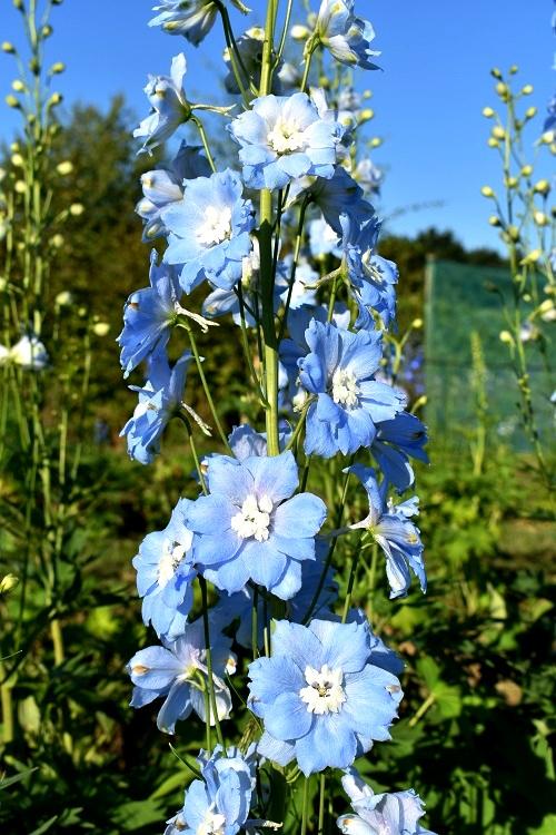 http://myshop-s3.r.worldssl.net/shop4870700.pictures.Delphinium_elatum_Leonora.JPG
