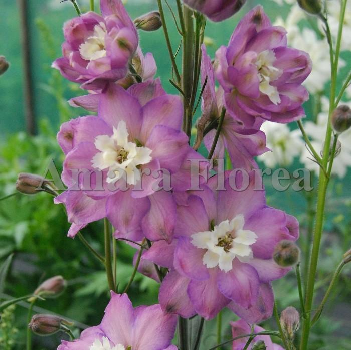 http://myshop-s3.r.worldssl.net/shop4870700.pictures.Delphinium_elatum_Lily_Radley.jpg