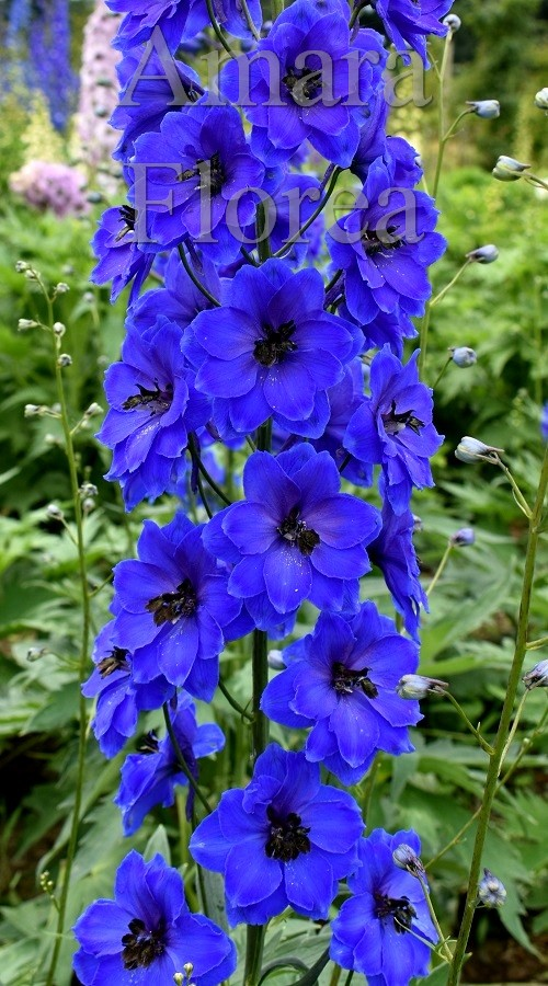 http://myshop-s3.r.worldssl.net/shop4870700.pictures.Delphinium_elatum_Molly_Buchanan.jpg