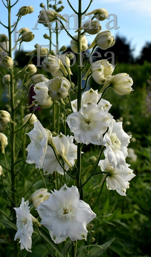 http://myshop-s3.r.worldssl.net/shop4870700.pictures.Delphinium_elatum_Moonbeam.jpg