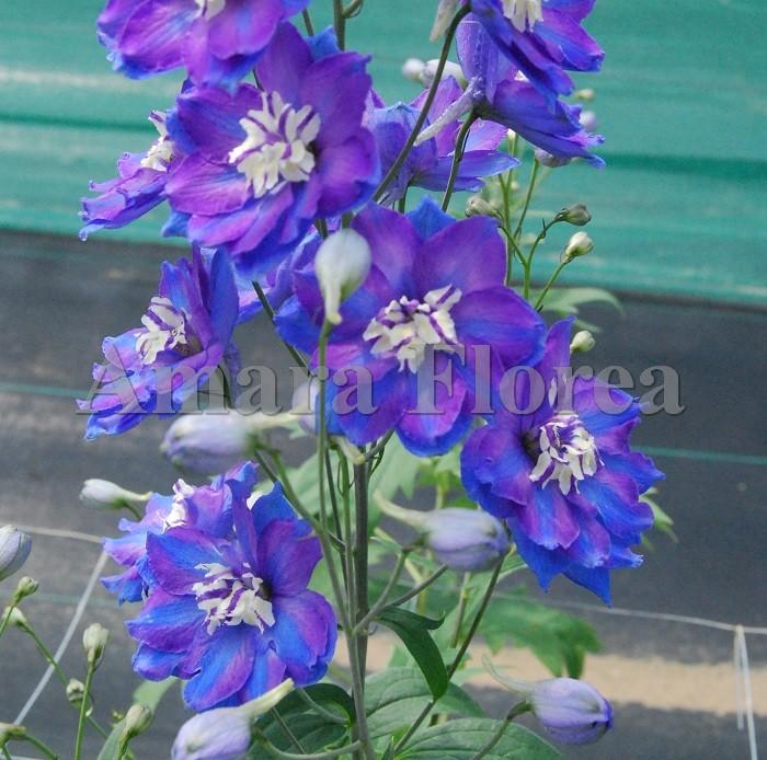 http://myshop-s3.r.worldssl.net/shop4870700.pictures.Delphinium_elatum_Orpheus.jpg