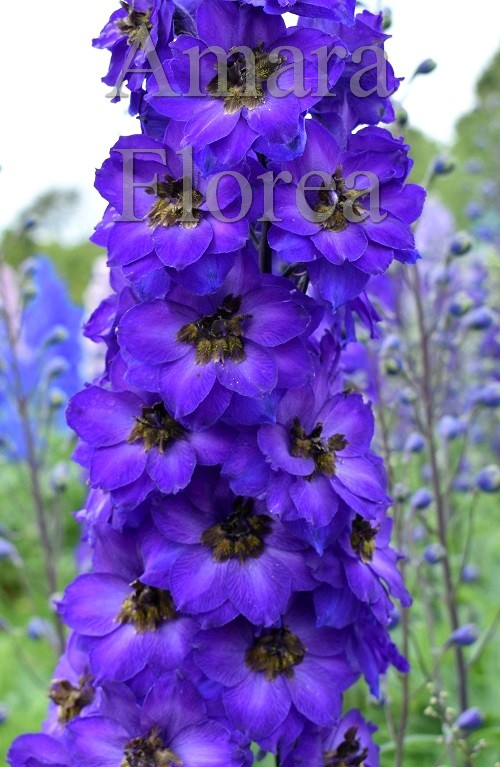 http://myshop-s3.r.worldssl.net/shop4870700.pictures.Delphinium_elatum_Purple_Velvet.jpg