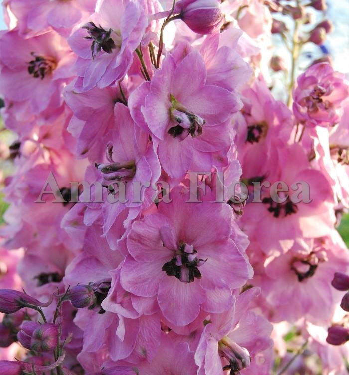http://myshop-s3.r.worldssl.net/shop4870700.pictures.Delphinium_elatum_Rosemary_Brok.jpg