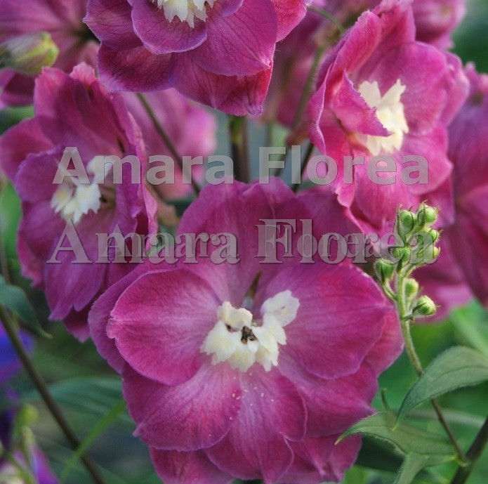 http://myshop-s3.r.worldssl.net/shop4870700.pictures.Delphinium_elatum_Royal_Flush.jpg