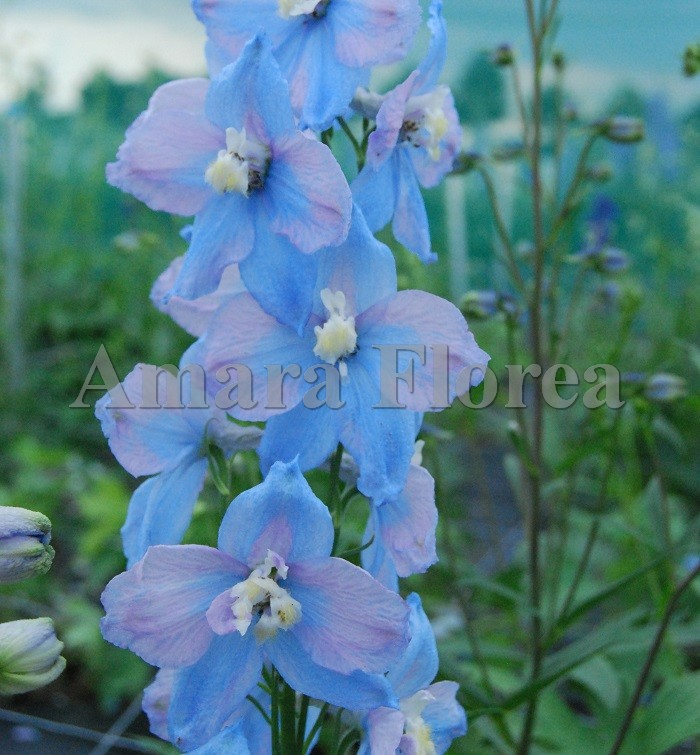 http://myshop-s3.r.worldssl.net/shop4870700.pictures.Delphinium_elatum_Sommerwind.jpg