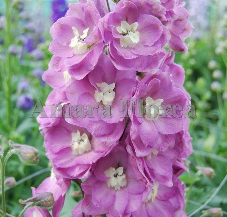 http://myshop-s3.r.worldssl.net/shop4870700.pictures.Delphinium_elatum_Summer_Wine.jpg