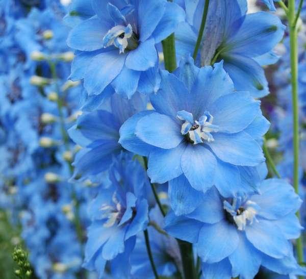 http://myshop-s3.r.worldssl.net/shop4870700.pictures.myshop-medium-Delphinium_Sky_Blue_1.JPG