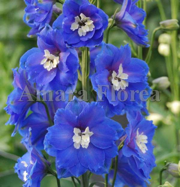 http://myshop-s3.r.worldssl.net/shop4870700.pictures.myshop-medium-Delphinium_elatum_Cobalt_Dreems.jpg