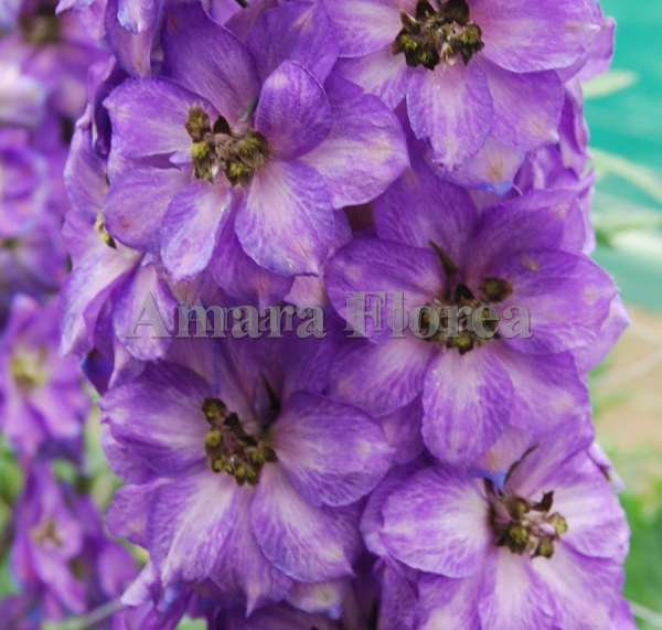 http://myshop-s3.r.worldssl.net/shop4870700.pictures.myshop-medium-Delphinium_elatum_Franjo_Sahin.jpg