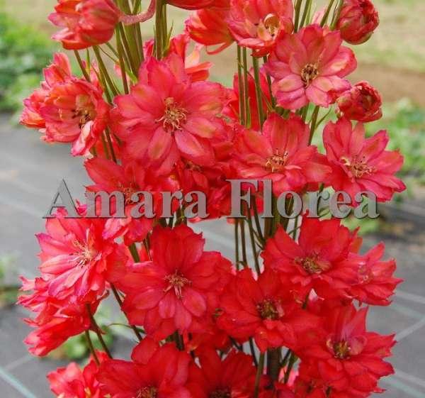 http://myshop-s3.r.worldssl.net/shop4870700.pictures.myshop-medium-Delphinium_elatum_Red_Caroline.jpg