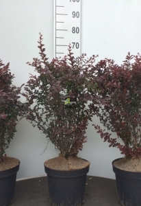 Berberis thunb.'Atropurpurea'