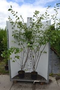 Struik Amelanchier (krentenboom) 100-140 cm (C7,5)