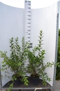 Sierheester Deutzia hoogte 60-80 cm (C7,5)