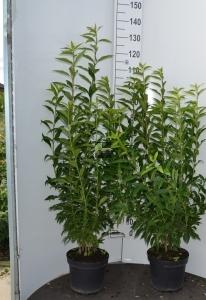 Sierheester Forsythia hoogte 80-100cm(C7,5)