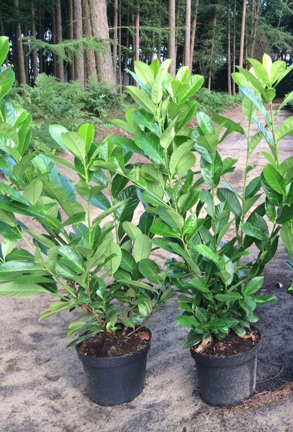 Prunus laur. 'Rotundifolia'