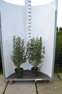 Sierheester Ribes hoogte 80-100 cm(C7,5)